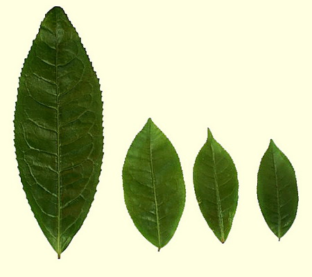 camelia-sinensis-assamica-tea-leaves-image