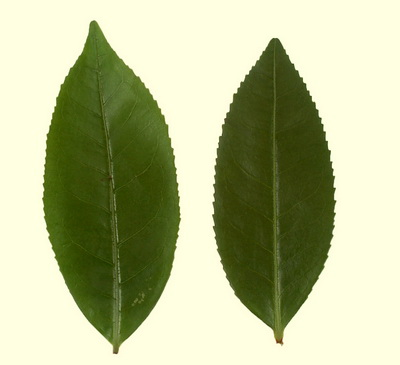 comparison-of-old-tree-and-bush-tea-leaves