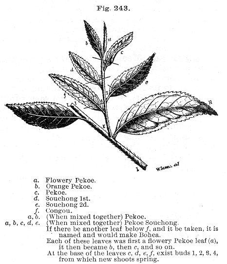 jerarquía de las hojas de té