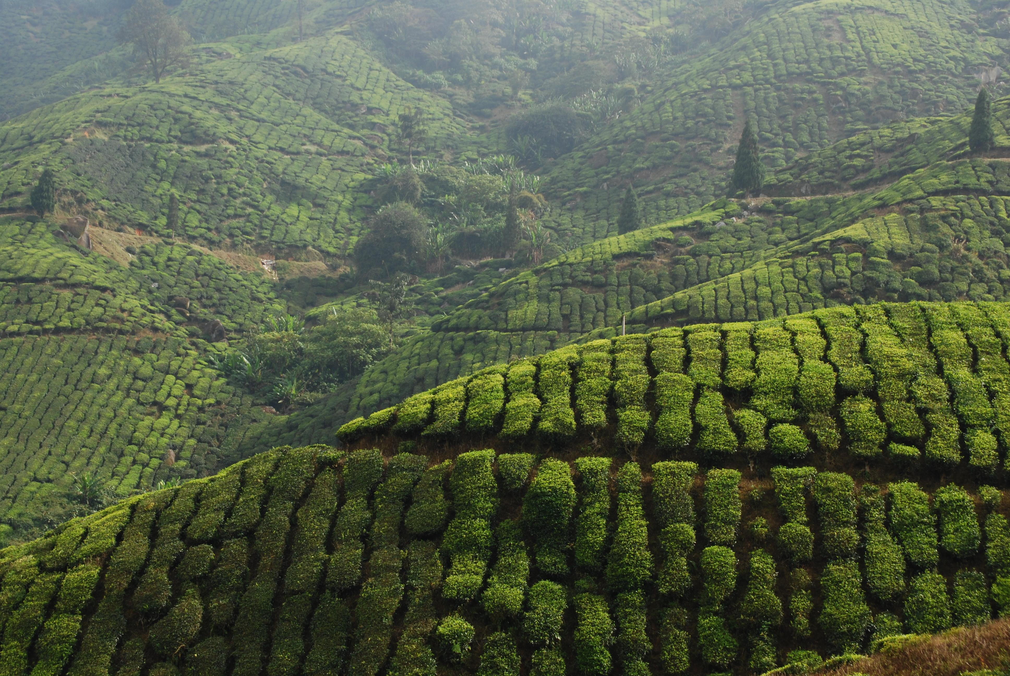 planetwildlife_tea plantation srilanka_0